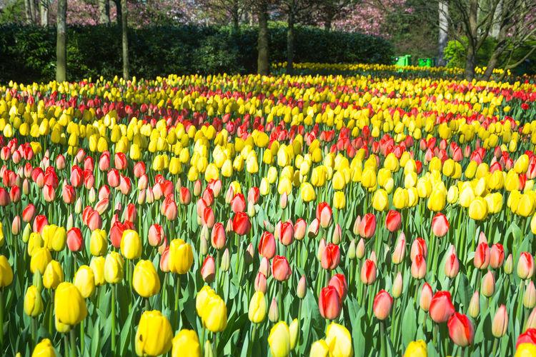 Multi colored tulips in garden