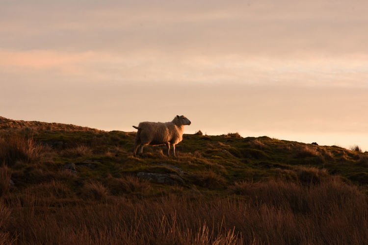 Low Angle View Of Sheep On Field At Sunset