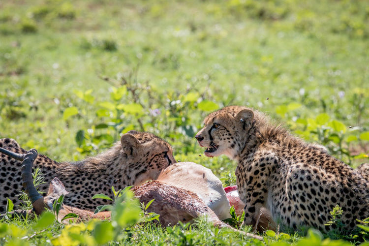 Cheetah feeding on an Impala kill in the Welgevonden game reserve, South Africa. Animal Themes Animals In The Wild Animal Wildlife Animal Safari Animals Safari Travel Travel Destinations Nature Nature Photography Beauty In Nature Kruger Park Wildlife Wildlife & Nature Wildlife Photography Africa African Animals African Safari Cheetah Cat Big Cat Acinonyx Jubatus Feline Endangered Species Mammal