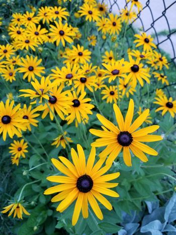Flower Petal Fragility Flower Head Growth Beauty In Nature Black-eyed Susan Plant Nature Yellow Freshness Day Blooming No People Outdoors Close-up Summer