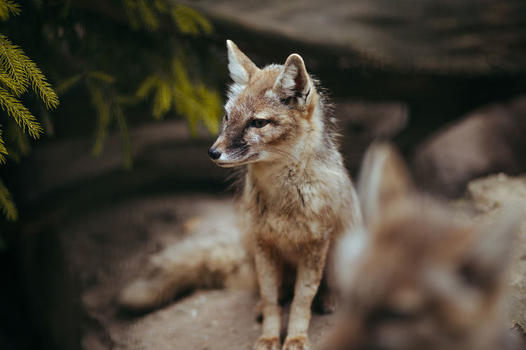Fuchs Animal Wildlife Animals In The Wild Day Domestic Domestic Animals Forest Fox Looking Mammal Nature No People One Animal Outdoors Pets Portrait Selective Focus Standing Vertebrate