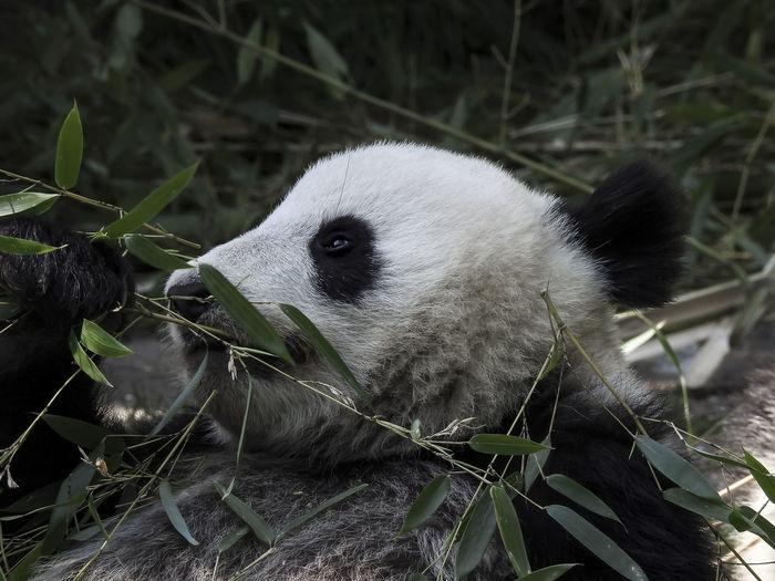Panda Panda -
