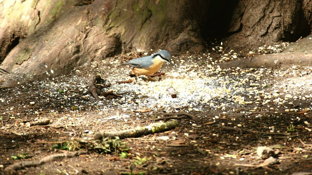 Nuthatch Single Bird WoodLand Birdseed Wildlife & Nature