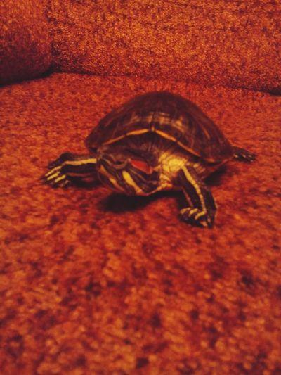 My favorite turtle))