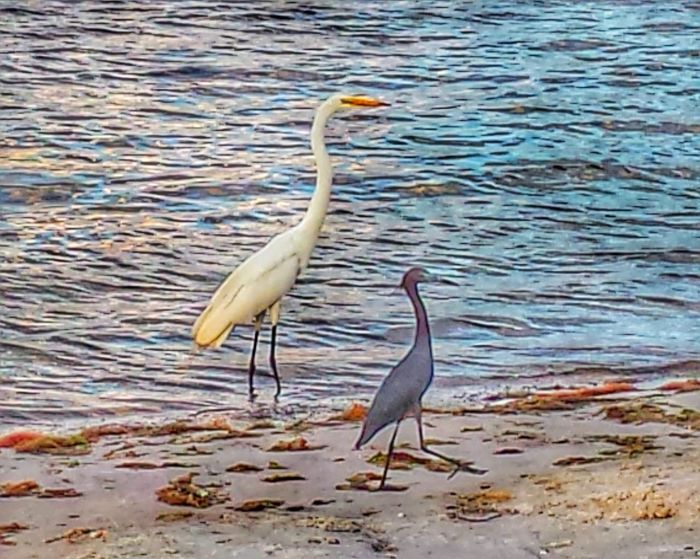 Two Is Better Than One Birds of a feather Walk Together Struttin' along the Indian River Lagoon Shoreline