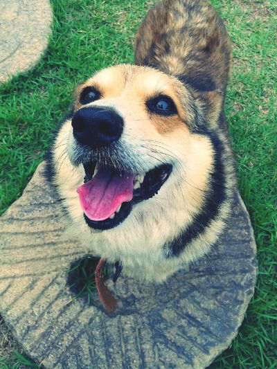 Welsh Corgi Today's Hot Look Perfect Smile love you baby?