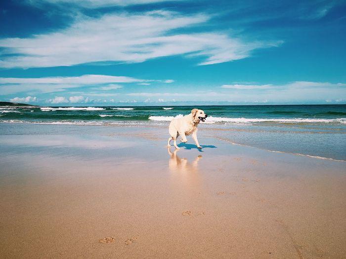 Labrador at beach