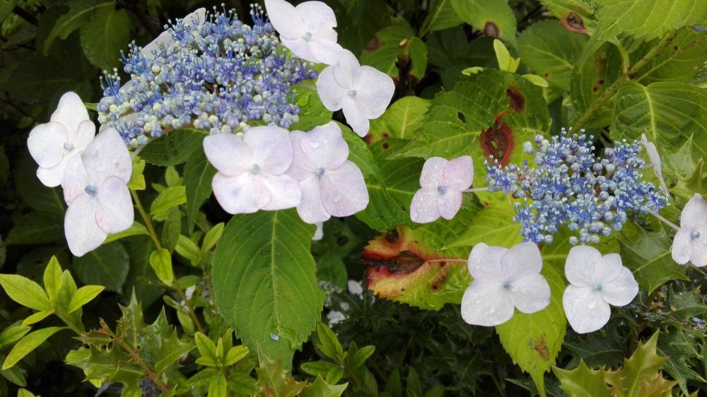 Flowers flores hortensias UltimateJapan