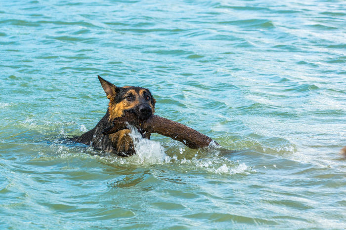 Alsatian Animal Animal Themes Beauty In Nature Blue Day Doggy Paddle Fetch German Shepard I Love My Dog Mammal Nature No People Outdoors Pets Portrait Rippled Sea Water