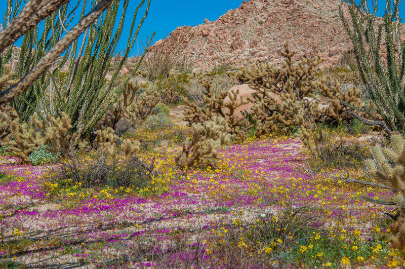 Anza Borrego Desert Flowers Plant Flower Beauty In Nature Flowering Plant Growth Nature Tranquil Scene Scenics - Nature Tranquility No People Land Day Environment Landscape Sky Tree Non-urban Scene Outdoors Purple Bush Arid Climate Anza Borrego