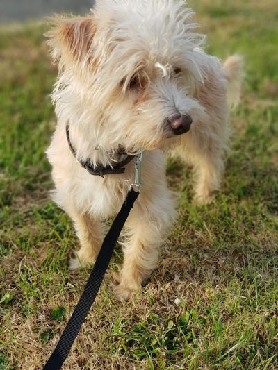 Jackadoodle S9photography S9plus EyeEm Best Shots Eye4photography  EyeEm Gallery EyeEm Selects Eyem Best Shots Pets Dog Sitting Grass Close-up Pet Leash Pet Collar