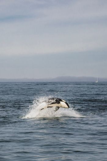 Killer whale jumping in sea