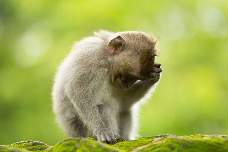 Monkey relaxing on moss covered wall