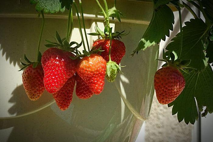Fraisier Fruit Fraises