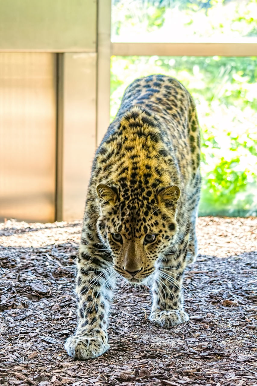 one animal, mammal, animal themes, animals in the wild, day, leopard, feline, animal wildlife, no people, nature, outdoors, close-up