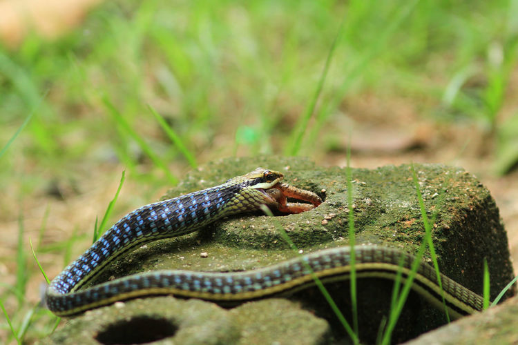 View of snake on rock by grass