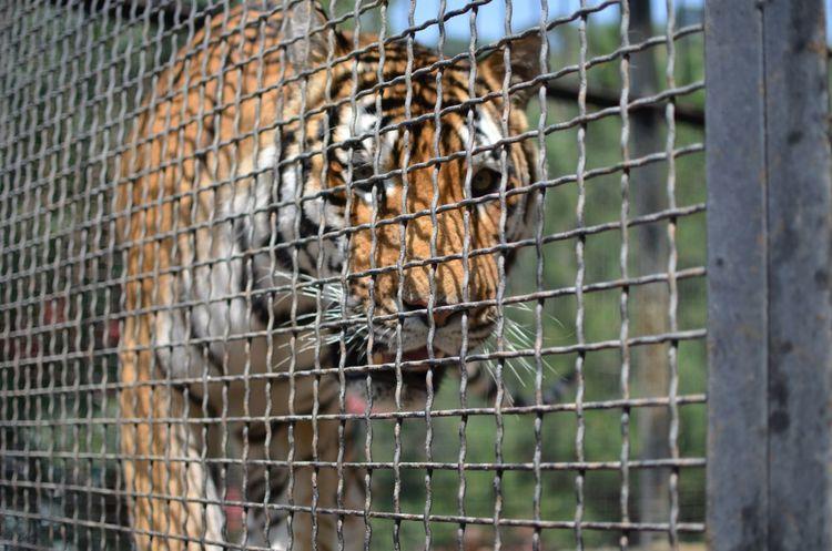 Animals Tiger Photo