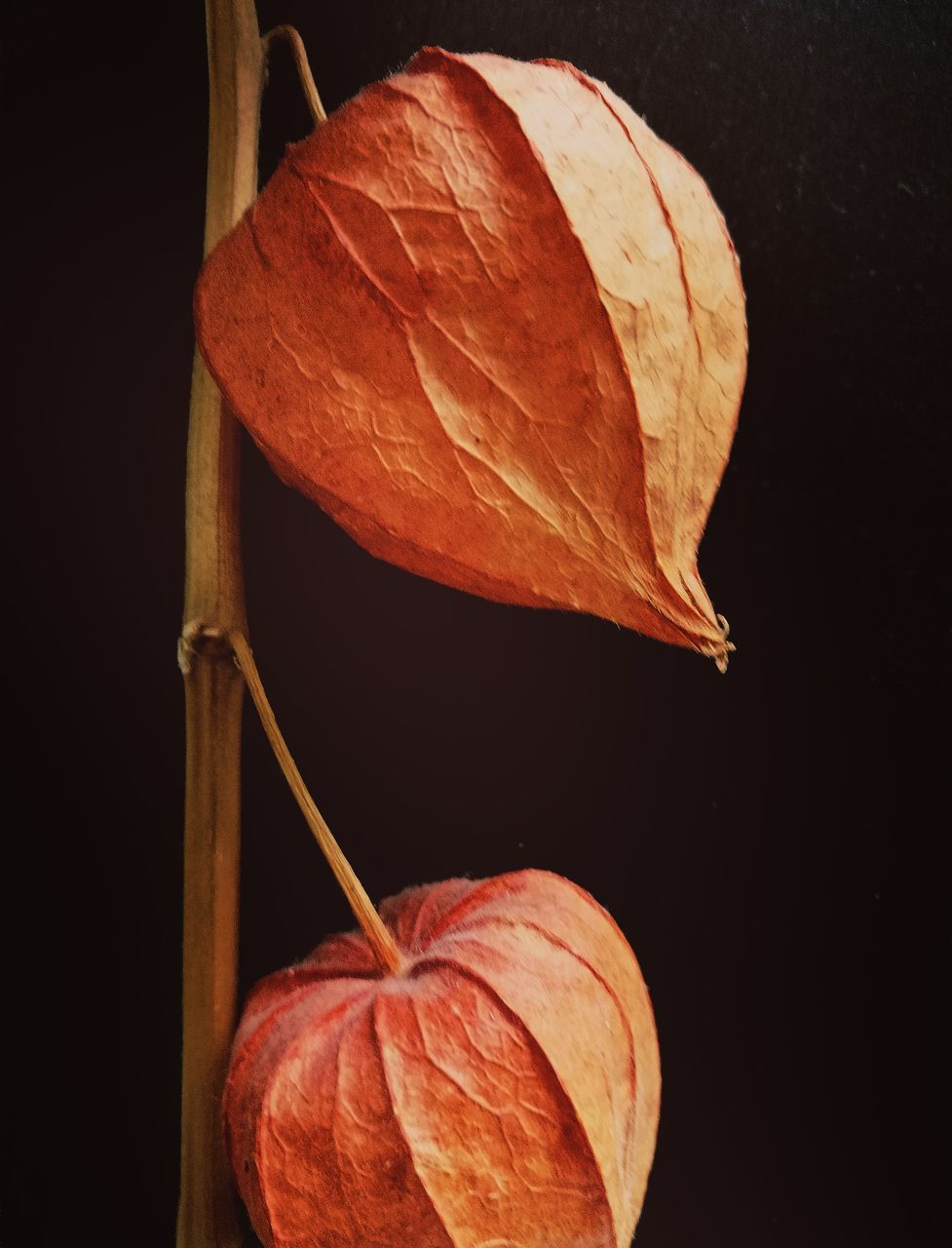 leaf, close-up, no people, studio shot, black background, nature, autumn, outdoors, freshness, day, beauty in nature, fragility, food