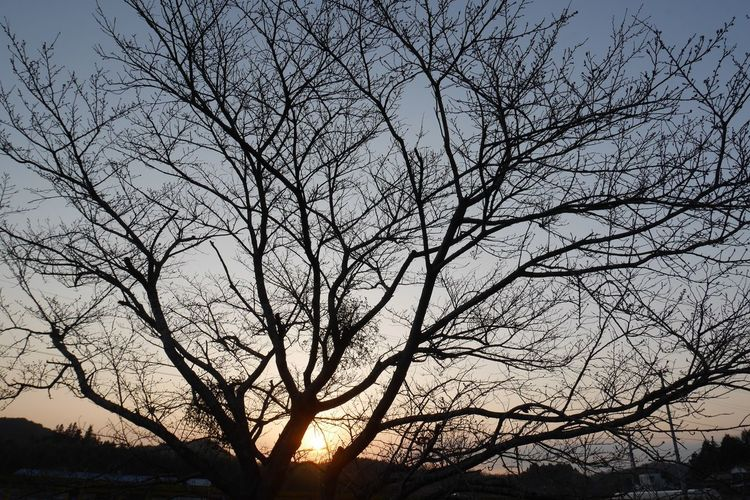 Motolife 早く咲いてね もうじき開花かしら サクラ Tree Low Angle View Branch Nature Silhouette Sky Beauty In Nature