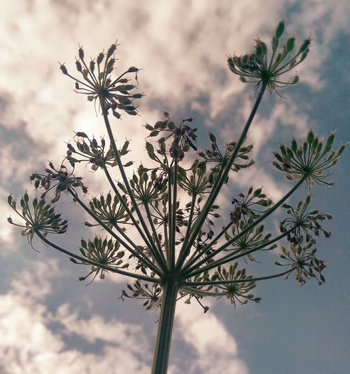 EyeEm Selects Palm Tree Tree Sky Cloud - Sky No People Silhouette Nature Outdoors Day Low Angle View Close-up Beauty In Nature Cow Parsley Beuty Of Nature Beauty In Nature Skyblue Fluffyclouds Nature