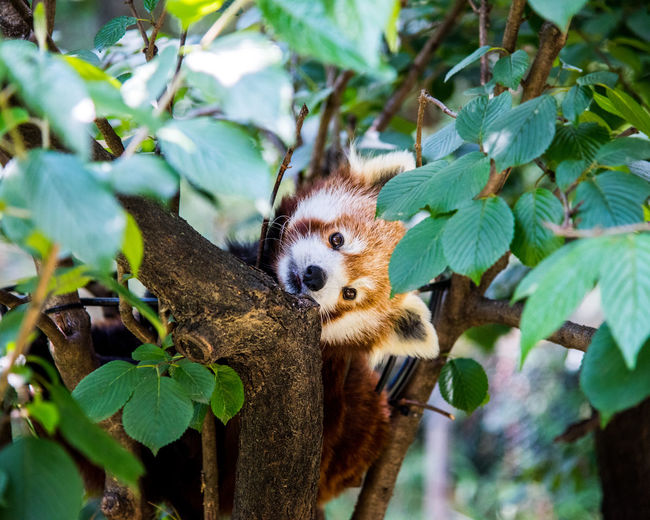Portrait Of Red Panda On Tree