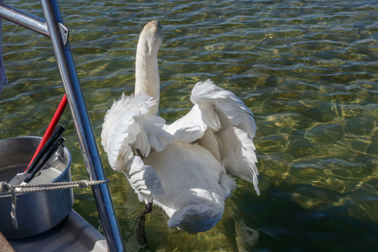 High angle view of white swan in lake