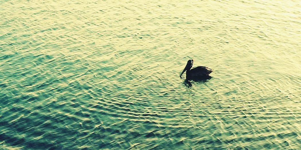 First Eyeem Photop Pelicans And Sunset Pelican Guancha En Ponce PR