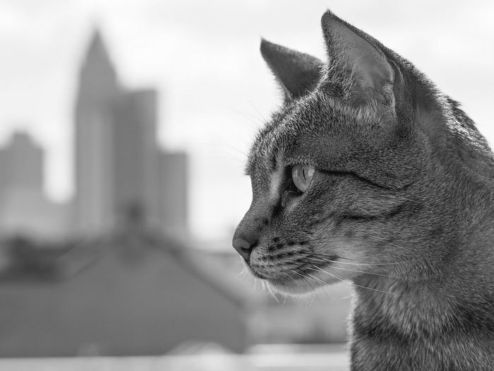 Wanda Savannah Frankfurt Skyline Cat