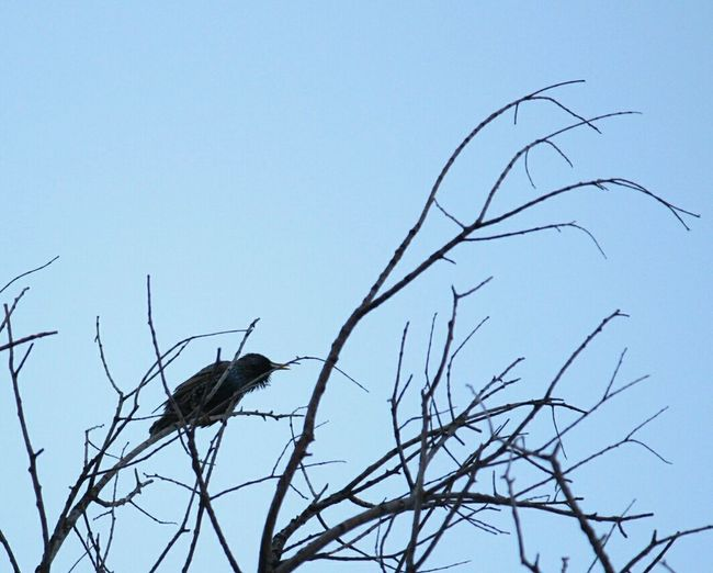 storno Storno Bird Tree Branch Bare Tree Blue Living Organism Sky Animal Themes Songbird  Sparrow