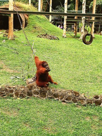 Orangutan Ape
