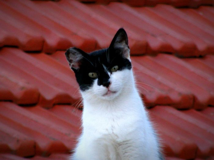 Cat On A Roof Cat Serious Cat Cats Cute Cats Animal Themes Animals In The Wild Animals Animal Photography Roof Tiles Red Roof Animal Portrait Shades Of Red Black And White Cat Cats & Dogs Colour Of Life