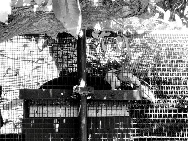 Animal Themes No People Outdoors Day Caged Birds Toucans Bird Photography Birds Of EyeEm  Birds Of EyeEm  Birds_collection Animal Wildlife Bird Black And White Collection  Black And White Photography Birds Honolulu Zoo Zoo Animals