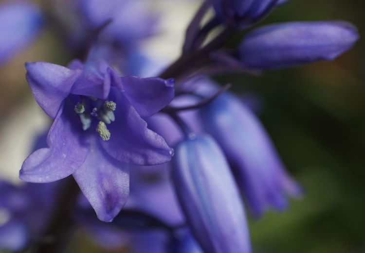 Almost half the world's bluebells are found in the UK and they're relatively rare in the rest of the world. Bluebells Flower Head Flower Petal Purple Close-up Plant Blossom Botany Plant Life In Bloom Focus