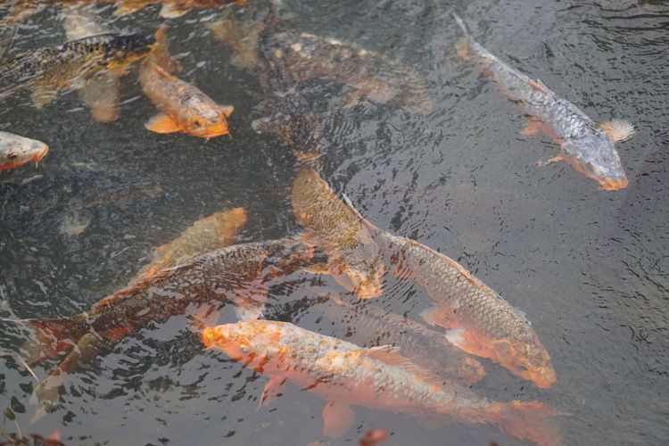 Animal Themes Nature Beauty In Nature Fancy Carp Fish Water Japanese Garden