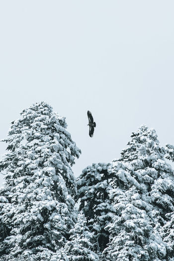 Low angle view of bird flying against clear sky during winter