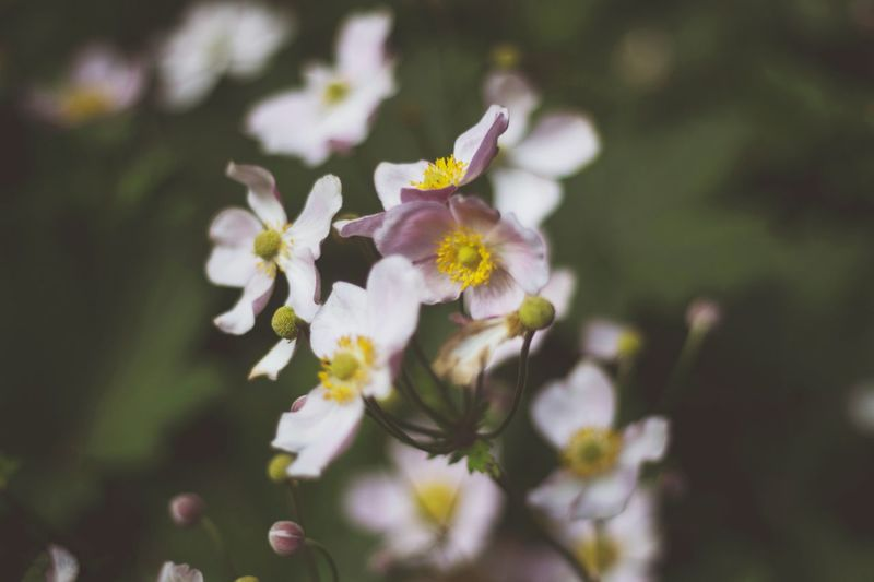Close-up of white and yellow flower heads. Flower Growth Plant Springtime Beauty In Nature Blossom No People Freshness Close-up Flower Head Fragility Petal GREEN BACKROUND Nature