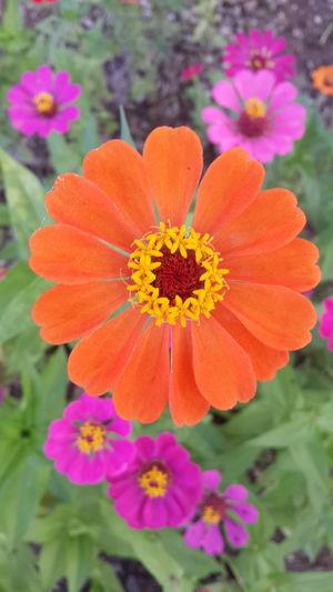 ดอกไม้ Zinnia  Flower Multi Colored Beauty Flowerbed Poppy Petal Springtime Uncultivated