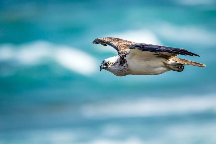Osprey flying against sky