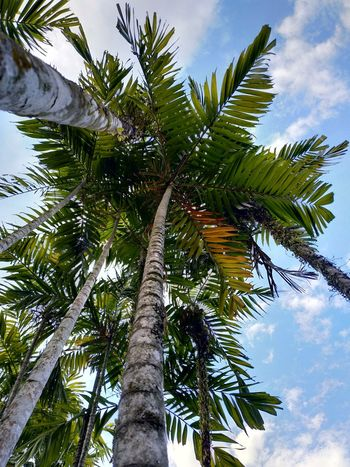 coconut tree Tree Palm Tree Coconut Tree Trunk Branch Tree Area Leaf Blue Tropical Climate Sky