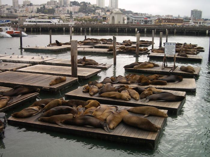 Sea Lions Relaxing On Pier 39