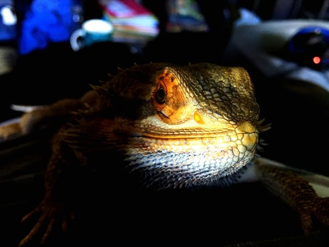 Hint of orange Beardie One Animal Animal Themes Animals In The Wild Reptile Close-up Indoors  No People Animal Wildlife Dragon