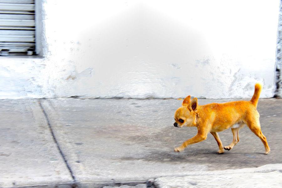 Gracioso compañero Animal Themes Chihuahua Day Dog Domestic Animals Mammal Nature No People Outdoors Pet Collar Pets
