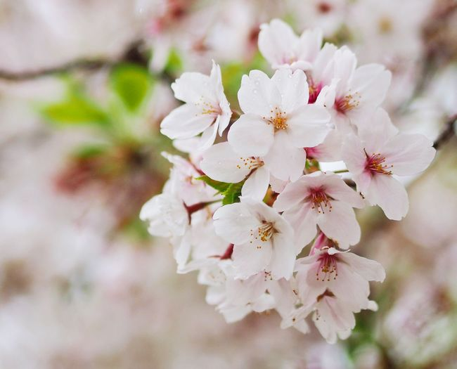 Cherry blossoms Flowering Plant Flower Plant Fragility Freshness Vulnerability  Beauty In Nature Petal Close-up Springtime Blossom Cherry Blossom Branch
