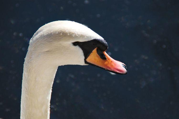 Swan head Swan