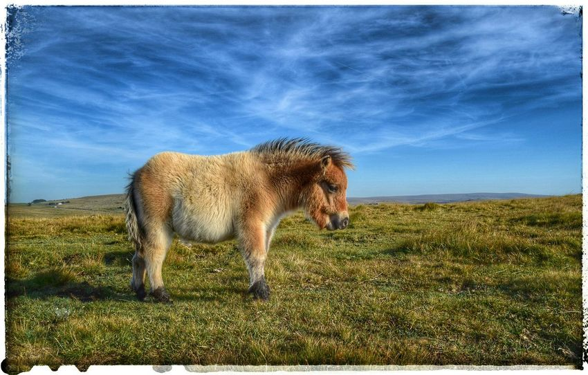 Pensive Pony My Little Pony Pony Dartmoor Moors Little Horse Lonely Lonely Pony Deep In Thought Pastel Portrait Animal Portrait Animal Photography Alone Thoughtful Serenity Animals Sad Dartmoor Ponies Animal Service Animals