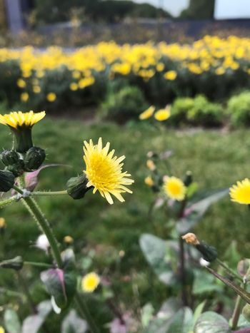 Flower Yellow Fragility Petal Growth Nature Beauty In Nature Plant Flower Head Freshness Day Blooming No People Field Outdoors Focus On Foreground Close-up One Animal Animal Themes