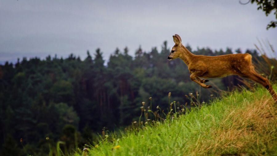 Die Flucht Reh Flucht Wildlife Sprung Wald Feld Wiese  Side View Forest Grass Sky