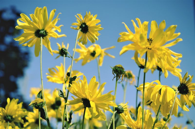 Close-up of fresh yellow flowers blooming in field