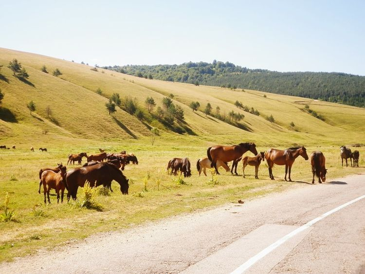on the way from Vlasina Lake to Lisina lake you can see a lot of wild Horses by the road. Nature Serbia Srbija