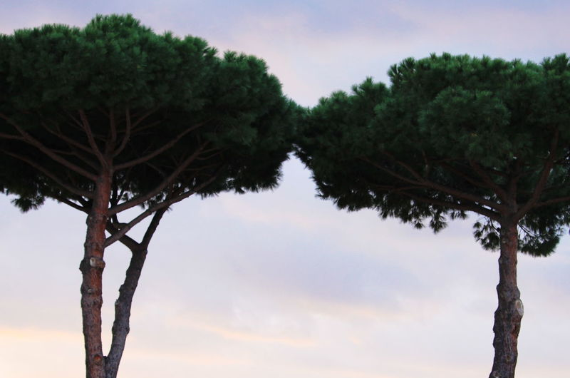 January 2017 Maritime Pines Trees Tuscany Countryside Day Italy Nature No People Outdoors Sky Tranquility Tree Trunk